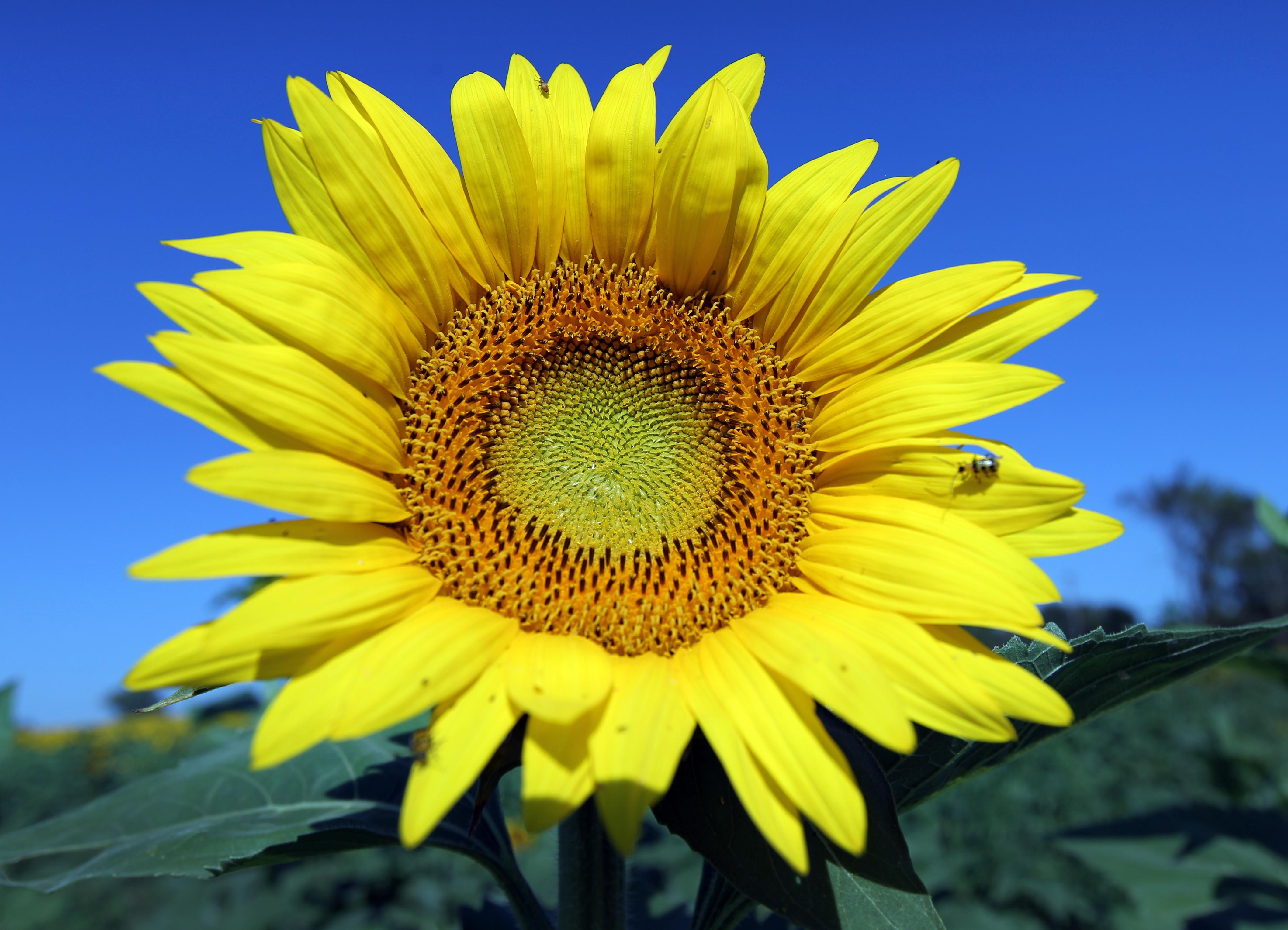 4236 x 3060 jpeg 6155kBSunflower