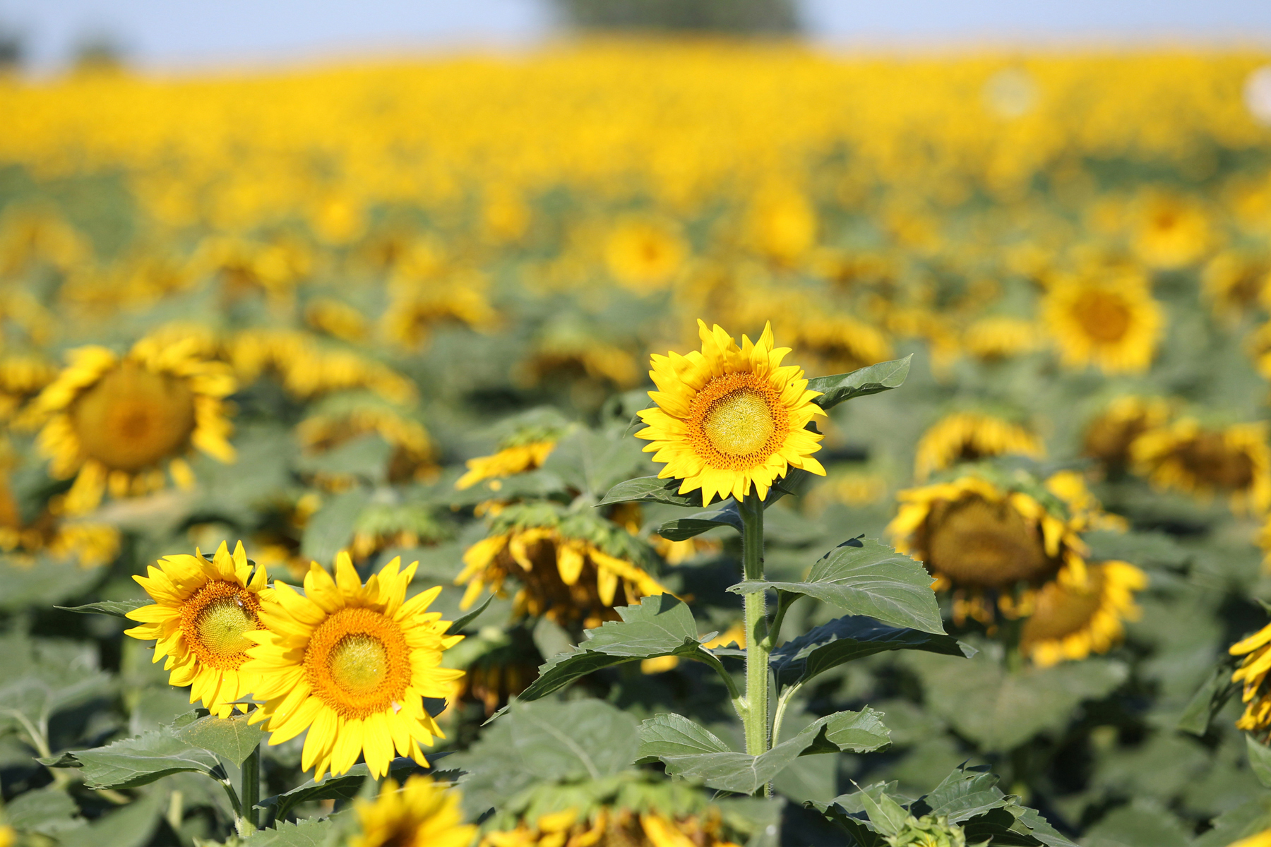 sunflower incorporated Sunflower-farms.