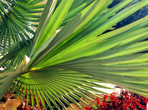 Palm Fronds (Laura Jacobsen)