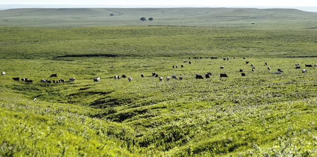 Cattle graze in the Flint Hills.
