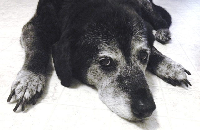 Rocket the morning of his 13th birthday  (Laura Jacobsen)