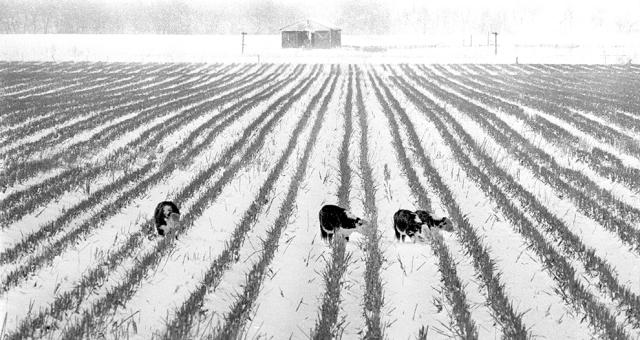 Cows_Snow_Crops