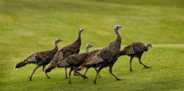 A wild turkey hen escorted her poults around the course.